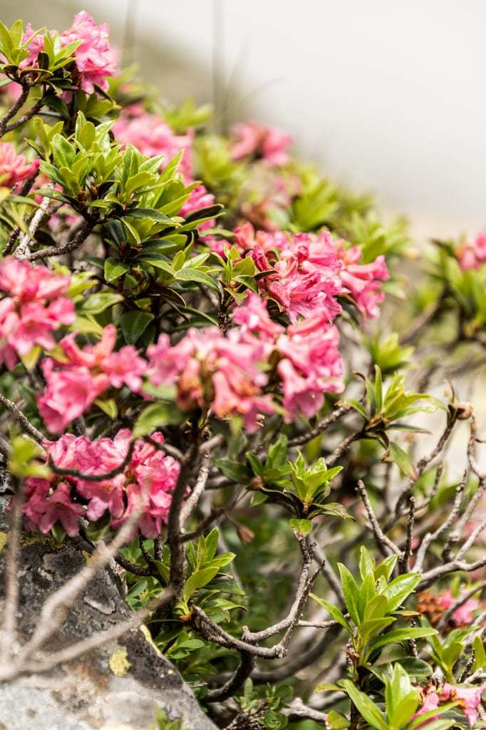 rhododendron montagne