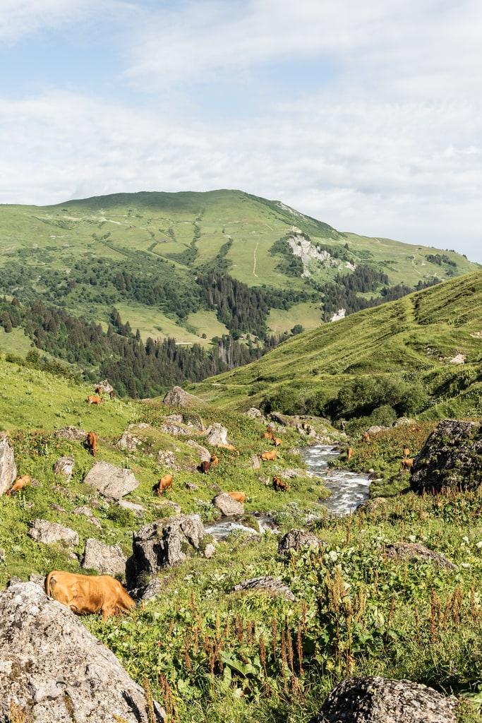 vaches rivière montagne