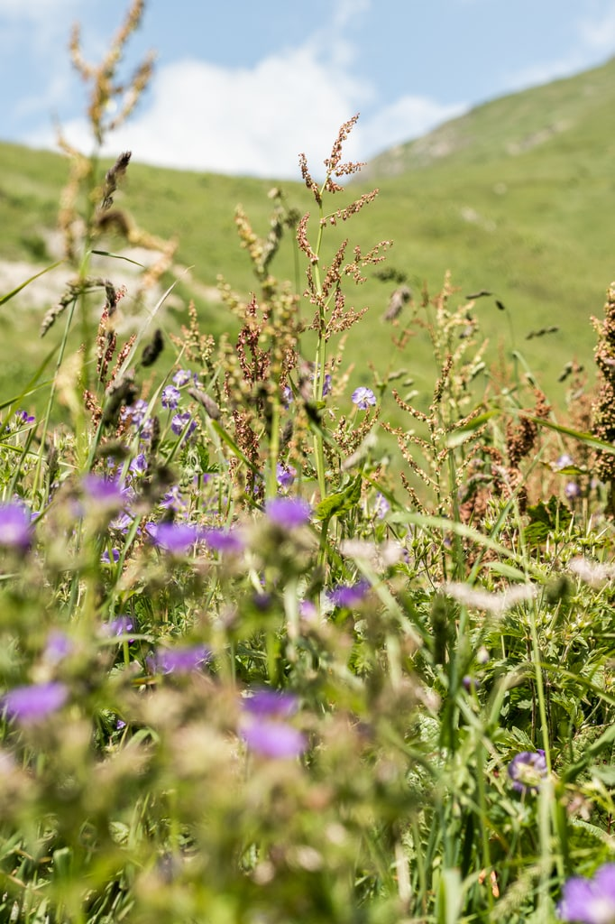 fleurs sauvages montagne