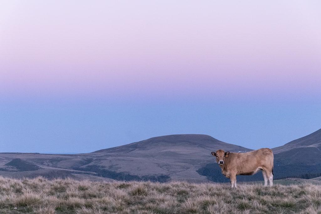 vache soir devant montagne