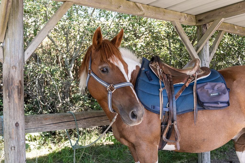 cheval sellé