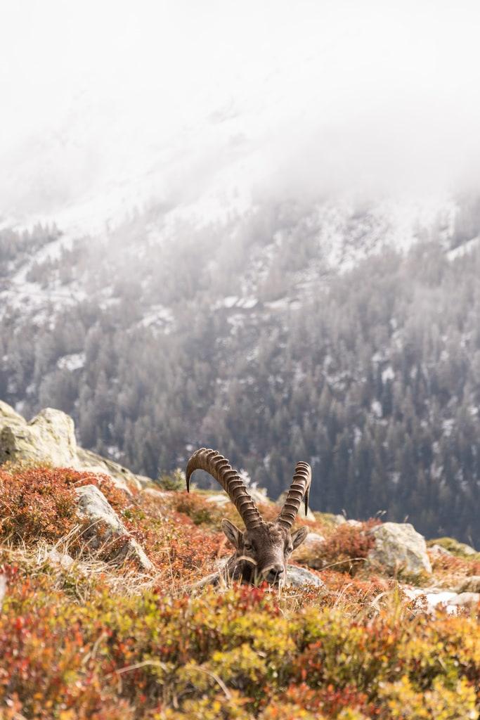 bouquetin montagne