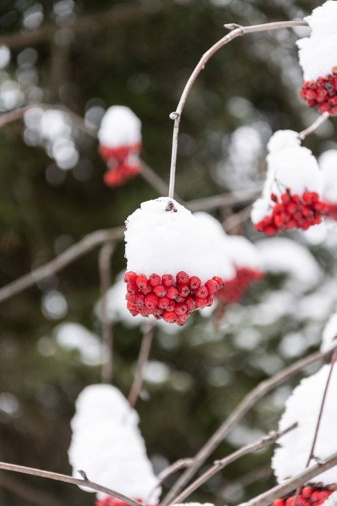 buis rouge neige