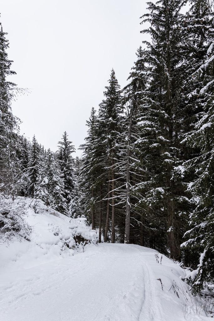 sentier forestier enneigé