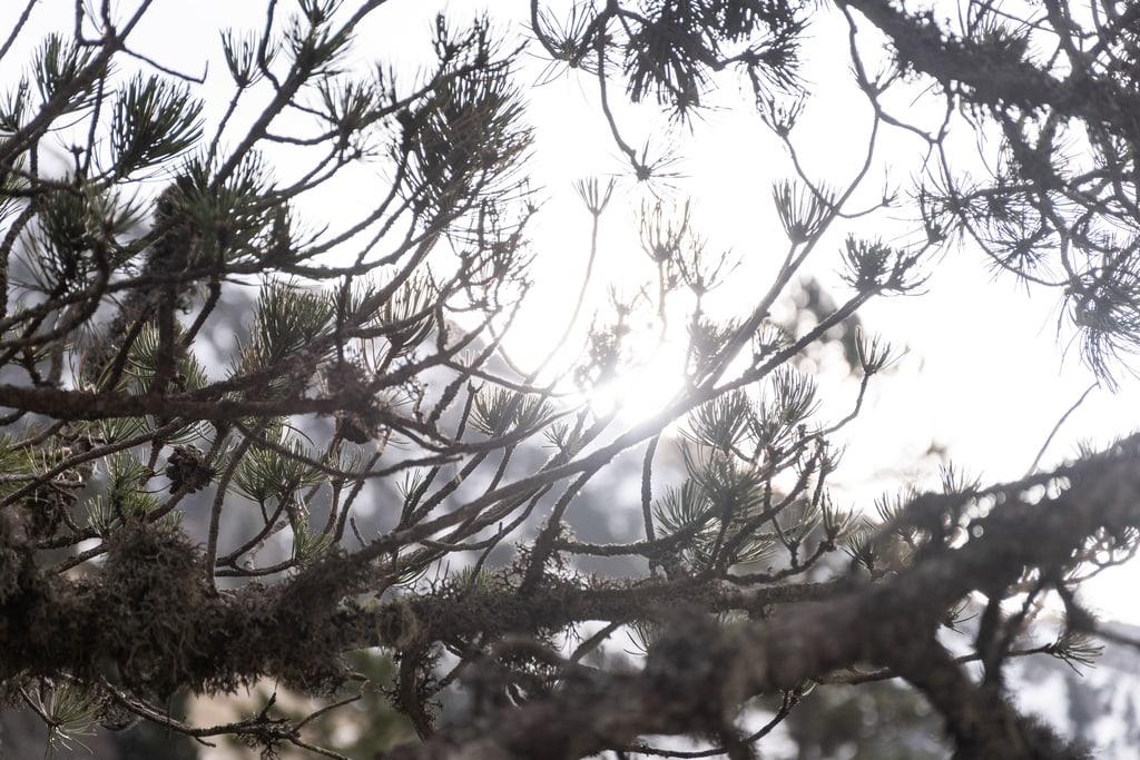 soleil à travers branche de sapin