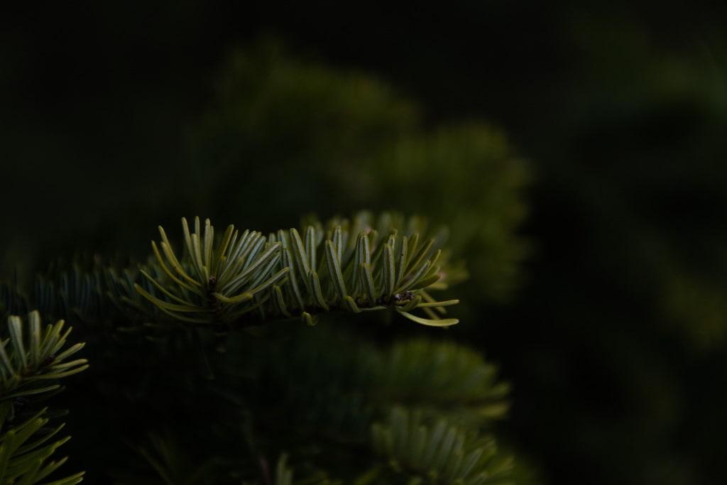 detail branche sapin