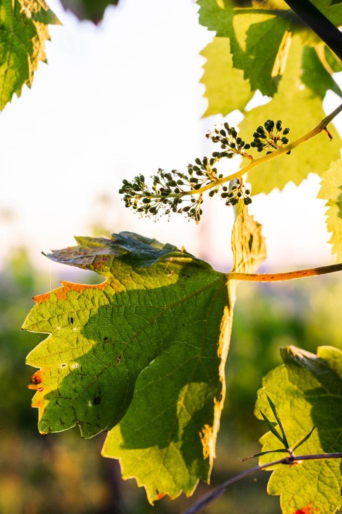 vigne golden light