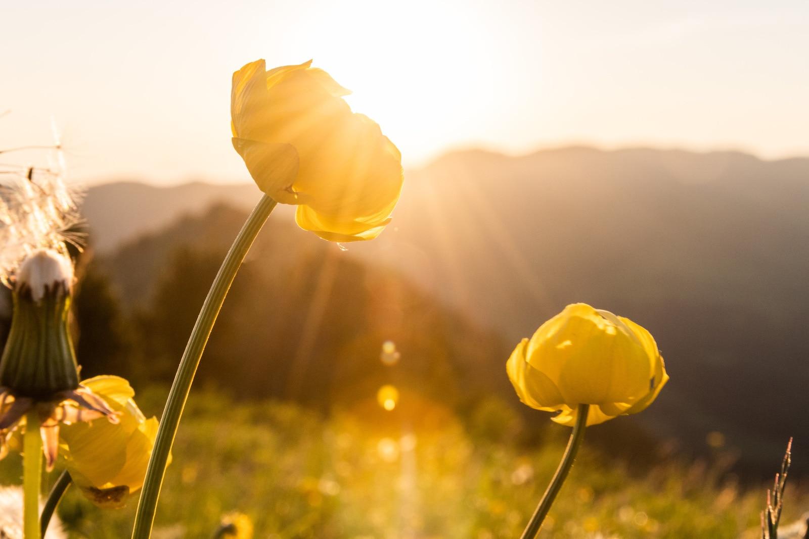 fleurs sauvages golden hour