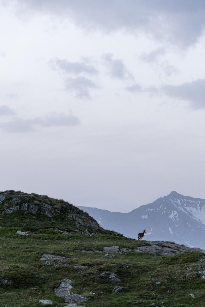 chevreuil en montagne