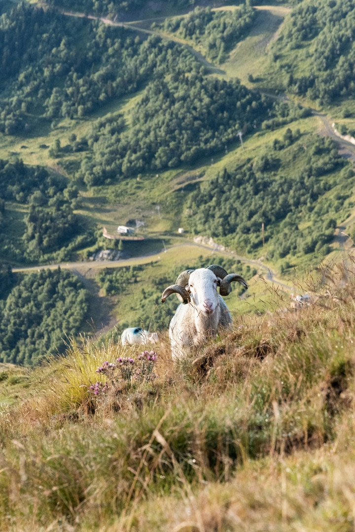 mouton montagne