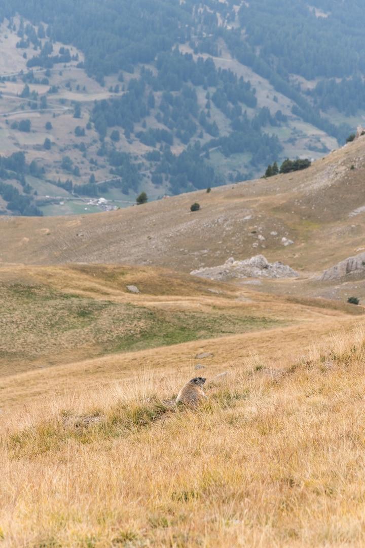 marmotte alpage