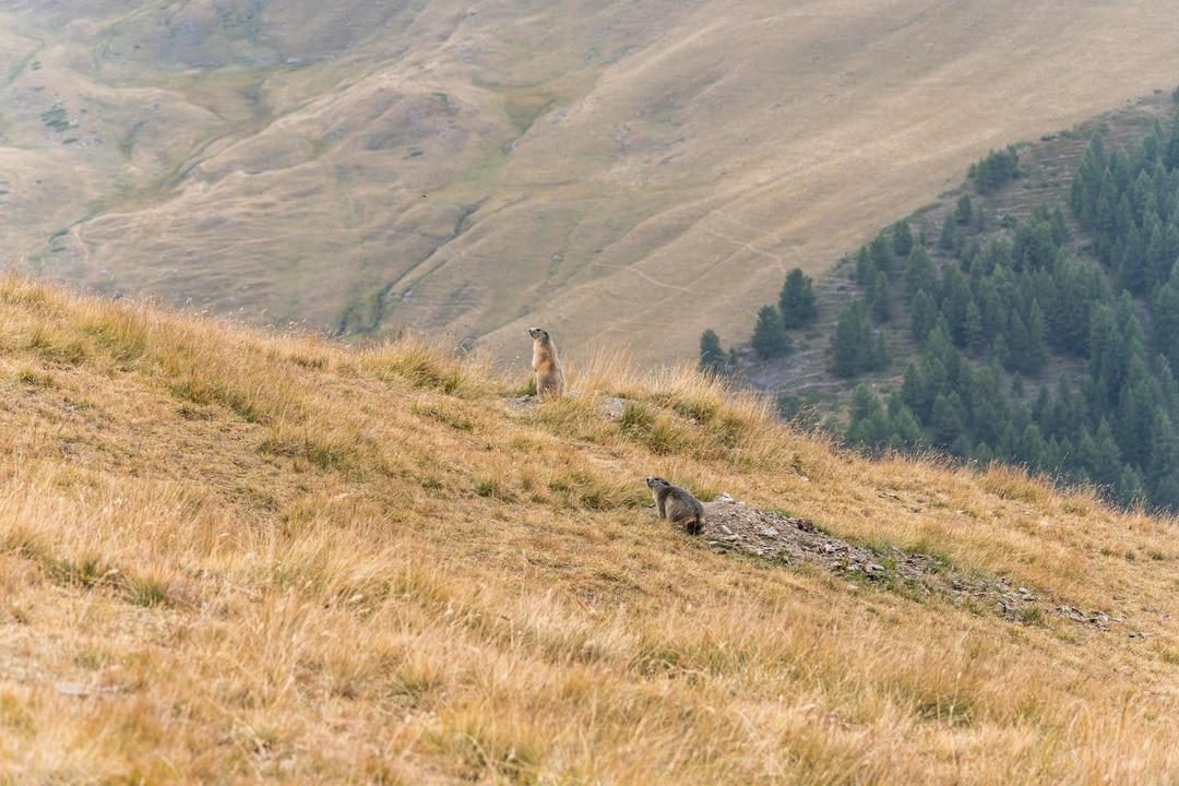 marmottes alpages