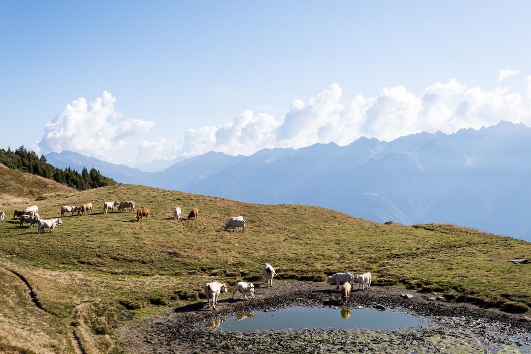 lac de montagne avec vaches