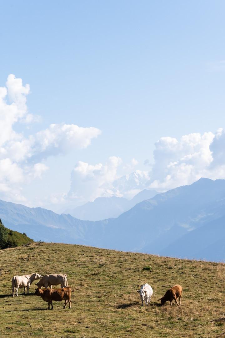 vaches et mont blanc